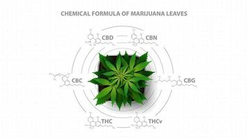 White poster with chemical formulas of natural cannabinoids with infographic of chemical formulas of cannabinoids and green bush hemp, top view vector