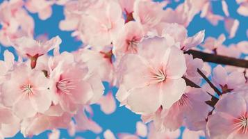 Close-up of cherry blossoms with lots of petals, 3D rendering photo