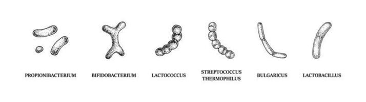 conjunto de bacterias probióticas dibujadas a mano lactococcus, lactobacillus, bulgaricus, bifidobacterium, propionibacterium, streptococcus. ilustración vectorial en estilo boceto