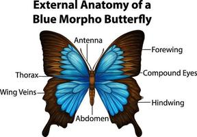 External Anatomy of a Blue Morpho Butterfly on white background vector