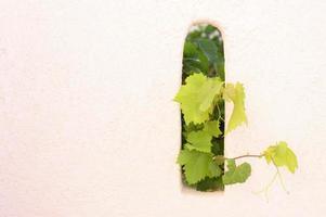 hojas de parra que decoran la pared al aire libre, que sobresalen del agujero foto