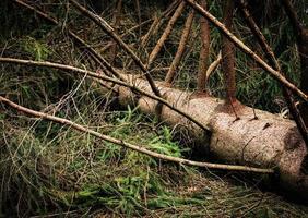 abeto caído después de una tormenta de viento