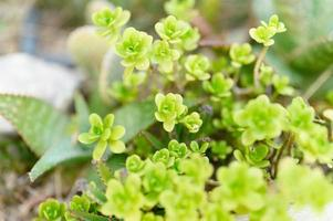 Succulent plants in a outdoor flower bed photo