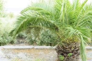 Small palm tree in the garden by the sea photo