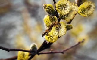 Two bees on a willow photo