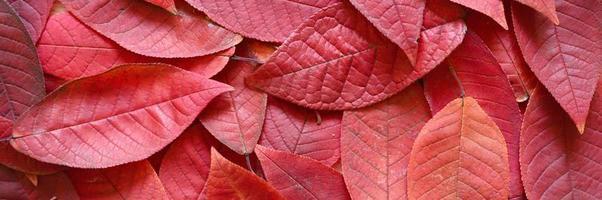 Fondo de hojas rojas de otoño caídas de un cerezo foto