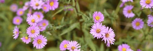 Autumn flowers aster novi-belgii vibrant in light purple color photo
