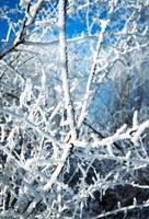 arbustos cubiertos de hielo foto