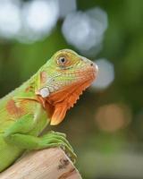 Primer plano de la iguana verde con limpio bokeh foto