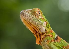 Green iguana close-up photo