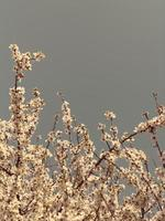 Beautiful almond blossoms against blue sky photo