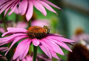 Bee on an echinacea flower