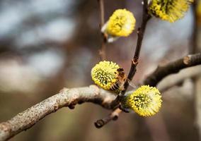Yellow willow flower photo