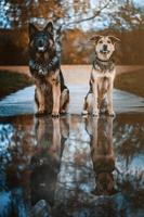 Two shepard dogs sit side by side in autumn landscape with reflection in puddle photo