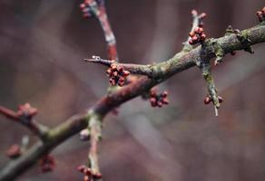 Buds on a blackthorn branch