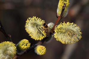 Yellow blooming willow photo