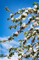 Apple blossoms on a branch photo