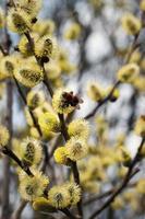 Yellow willow flowers photo
