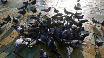 bando de pombos no chão