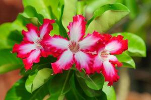 Group of adenium flowers white with pink edges