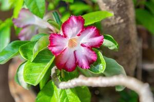 Adenium flowers white with pink edges