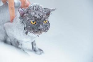Hairdresser doing beauty care on an angry wet cat photo