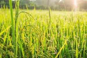 Rice field in sunlight