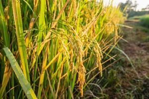 Close-up of rice plants