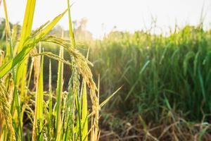 Rice plants in sunlight