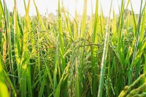 Vibrant green rice plants