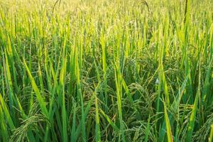 Blades of green rice plants photo