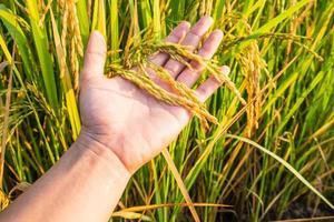 Hand holding rice plants