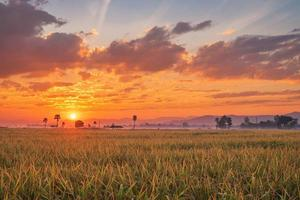Sunset over a field of rice