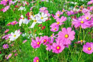 Field of cosmos photo