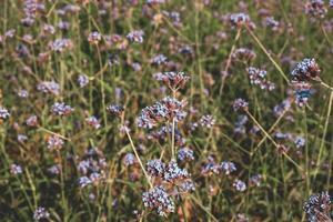 Verbena flores en un campo foto