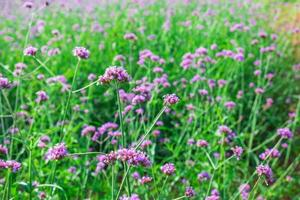 flores de verbena púrpura foto