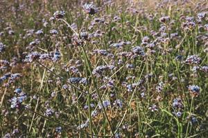 flores de verbena durante el día foto