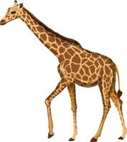 Adult giraffe in standing position on white background vector