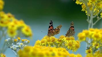 Vanessa Cardui Butterfly in Nature on Yellow Flowers video