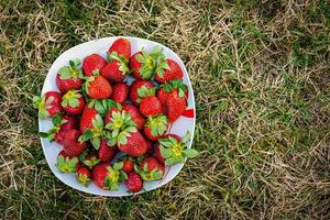 Sweet wild strawberries on a white plate on a green lawn photo