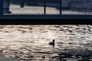 Duck silhouette in evening light on city canal under pedestrian bridge