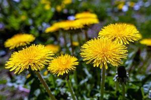 Dientes de león brillantes sobre fondo de verdes prados de primavera foto