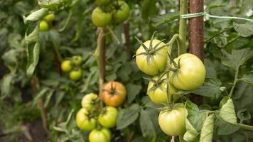 tomates verdes inmaduros foto