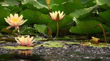 Beautiful Lotus Flowers on Lake Water