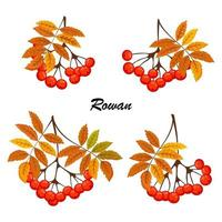 Rowan branch with leaf and berries. Illustration isolated on white background. Rowanberry autumn design. vector
