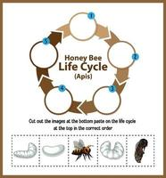 Diagram showing life cycle of Honey Bee Apis vector