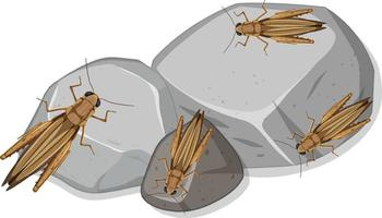 Many grasshoppers on stones isolated vector