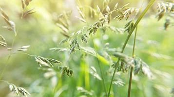 Fondo de naturaleza de planta de bromus con luz solar foto