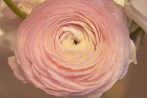 Pink Ranunculus flowers close up with a blurred background