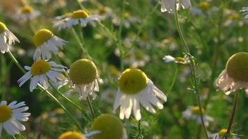 flores da margarida na natureza verde